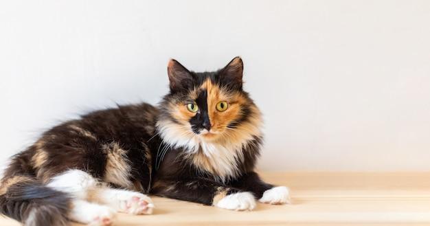 Piękny młody trójkolorowy pomarańczowo-czarno-biały kot leży na drewnianej podłodze. ulubione zwierzaki. selektywne skupienie.