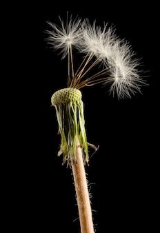 Piękny mniszek z nasionami na czarnej powierzchni