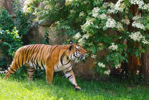Piękny mocny tygrys w paski spacerujący w przyrodzie.