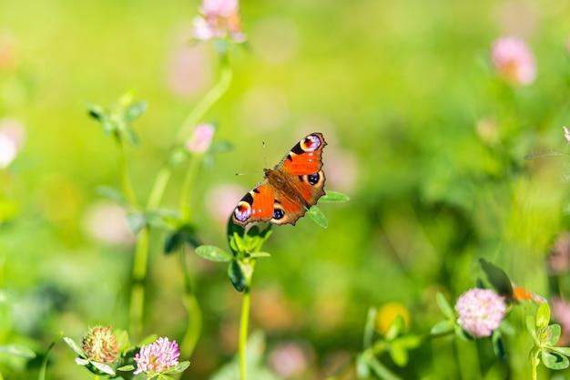 Piękny motyl admirał leci, siada na kwiatku, rozpościera skrzydła
