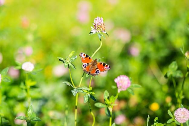 Piękny motyl leci, siada na kwiatku, rozpościera skrzydła