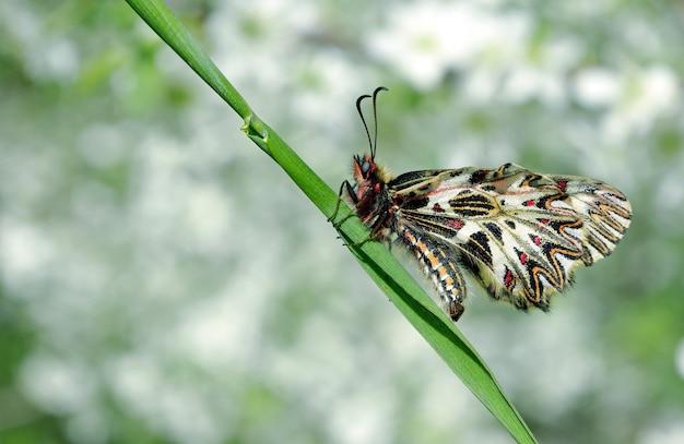 Piękny motyl na gałęzi wiśni