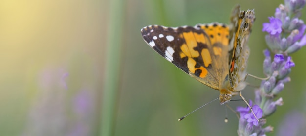 Piękny motyl na kwiacie lawenda w ogródzie