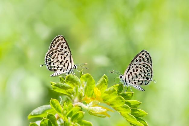 Piękny motyl pasujący na zielonych liściach, motyl rasy