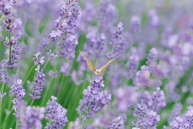 Piękny motyl pije nektar na lawendowym kwiacie w lawendowym polu