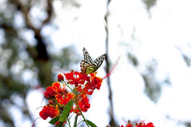Piękny motyl pospolity jezebel (delias eucharis) siedzi na kwiatach royal poinciana