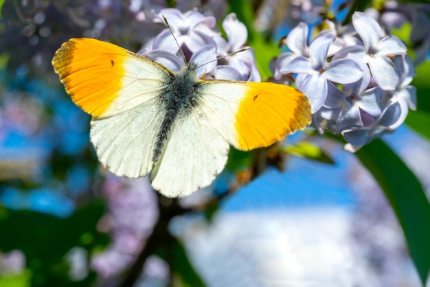 Piękny motyl siedzi na kwiatku. owad zapyla kwiat i pojawia się nektar.