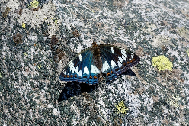 Piękny motyl topoli admirał siedzący na szorstkim kamieniu