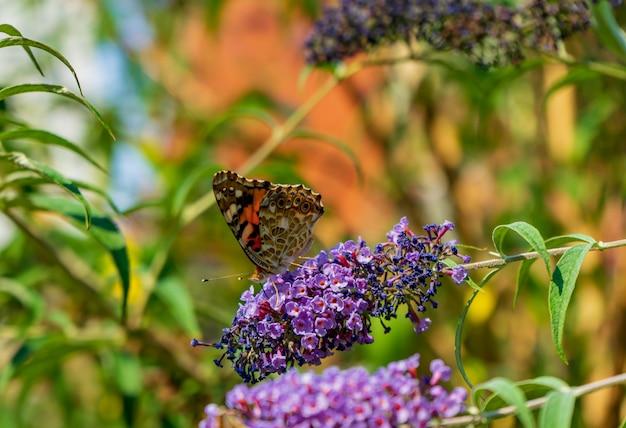 Piękny motyli obsiadanie na lilym kwiacie z zamazanym tłem