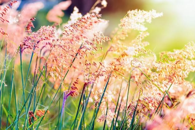 Piękny naturalny krajobraz jasny kolorowy pole czerwony kwiat tropikalnej trawy w słońcu na łące podczas zachodu słońca, pomarańczowy żółty zielony na tle przyrody lato