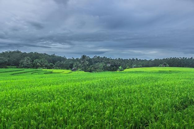 Piękny naturalny widok na zielone tarasy ryżowe o poranku w północnym bengkulu