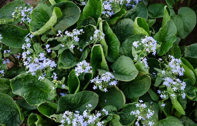 Piękny natury tło. zielone liście ogrodu syberyjskiego
