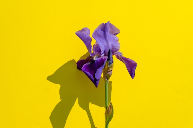 Piękny niebieski irysowy kwiat na żółto