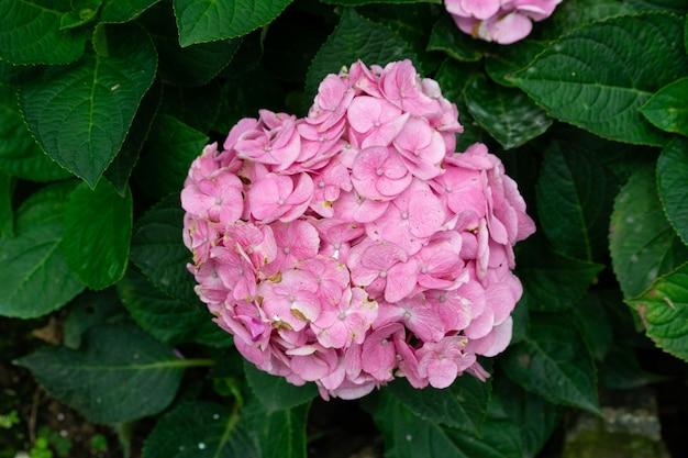 Piękny niebieski kwiat hortensji lub hortensji (hydrangea macrophylla) w lekkich wariantach kolorystycznych od niebieskiego do fioletowego.