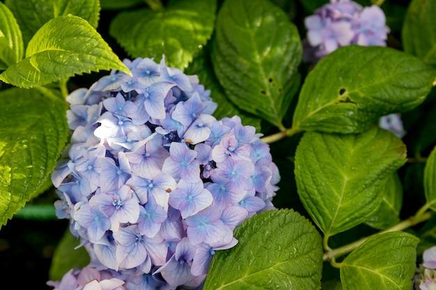 Piękny niebieski kwiat hortensji z liściem, naturalne tło. sceny wiosenne kwitnących kwiatów hortensji niebieskiej i fioletowej w ogrodzie z abstrakcyjnie zieloną miękką naturą