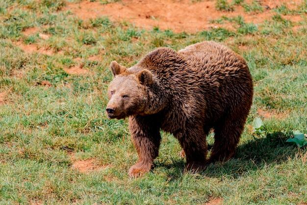 Piękny niedźwiedź brunatny