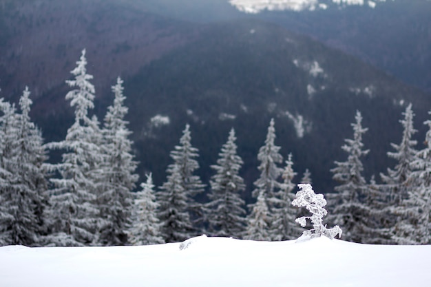 Piękny niesamowity górski zimowy krajobraz. małe młode drzewo w głębokim śniegu ugięte przez wiatr pokryty mrozem w zimny mroźny słoneczny dzień na ciemnym tle niewyraźnej przestrzeni jodły lasu.
