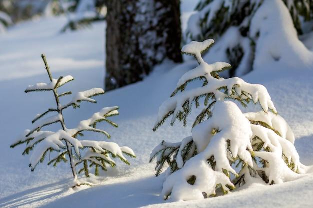 Piękny niesamowity krajobraz górski zima boże narodzenie. mali potomstwa zielenieją jedlinowych drzewa zakrywających z śniegiem i mrozem na zimnym słonecznym dniu na jasnym białym śniegu i zamazanym drzewnych bagażników kopii przestrzeni tle.