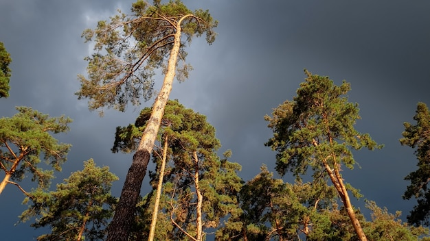 Piękny obraz ciemne czarne deszczowe chmury latające nad wysokimi sosnami w lesie. spokojna natura przed burzą