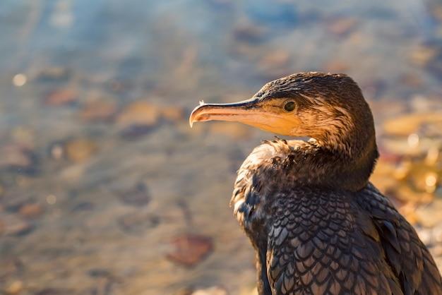 Piękny obraz kormorana lub phalacrocorax carbo siedzącego na piasku nad rzeką