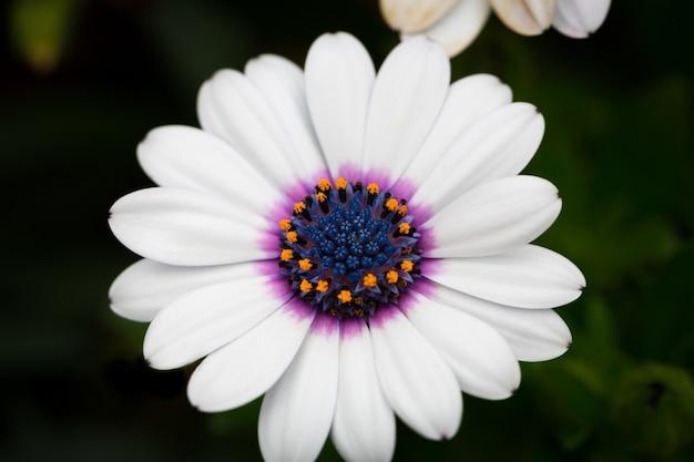 Piękny obraz makro białej peleryny daisy w ogrodzie