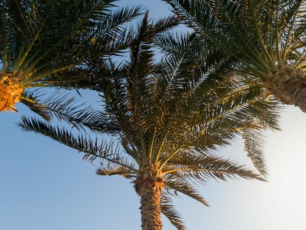 Piękny obraz rosnących palm wystrzelonych z ziemi. aganst błękitne niebo i promienie zachodzącego słońca