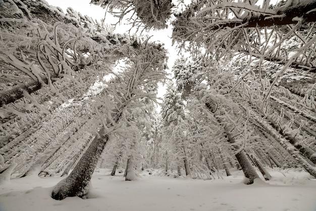 Piękny obraz zimowy. wysokie świerki pokryte głębokim śniegiem i mrozem na bezchmurnym niebie. kartkę z życzeniami szczęśliwego nowego roku i wesołych świąt.
