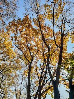 Piękny obraz żółtych i pomarańczowych liści na drzewie w jesiennym parku na tle jasnego błękitnego nieba