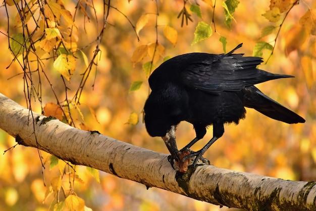 Piękny obrazek ptak - kruk / wrona w jesieni naturze. (corvus frugilegus)