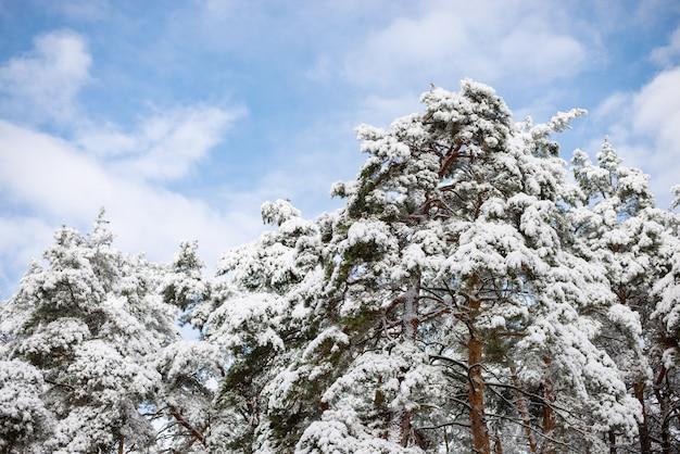 Piękny obrazek sosen pokrytych grubą warstwą śniegu i lodu