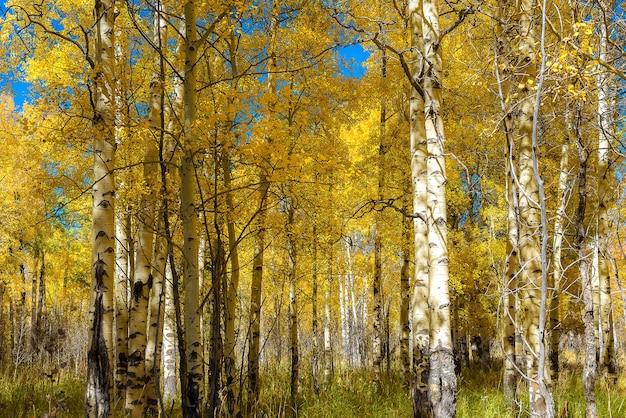 Piękny osiki drzewo podczas jesieni