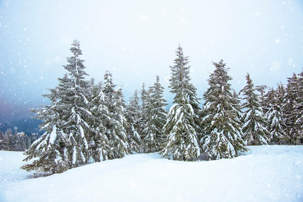 Piękny ostry widok jodeł w śniegu i zboczach w zimnym północnym kraju
