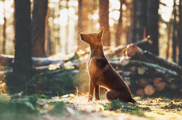 Piękny owczarek malinois siedzi w promieniach światła w lesie. sylwetka dużego psa