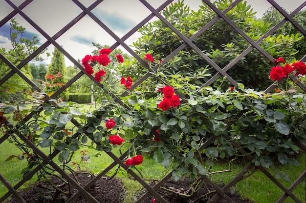 Piękny ozdobny drewniany płot porośnięty czerwonymi różami w parku