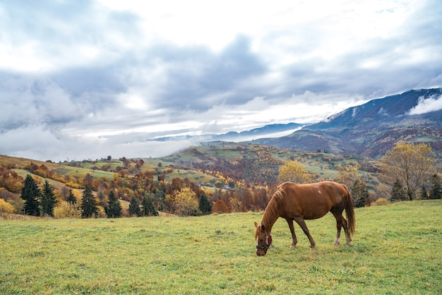 Piękny, pełen gracji ogier spaceruje po zielonym polu i zjada soczystą świeżą trawę na tle pięknej przyrody karpat