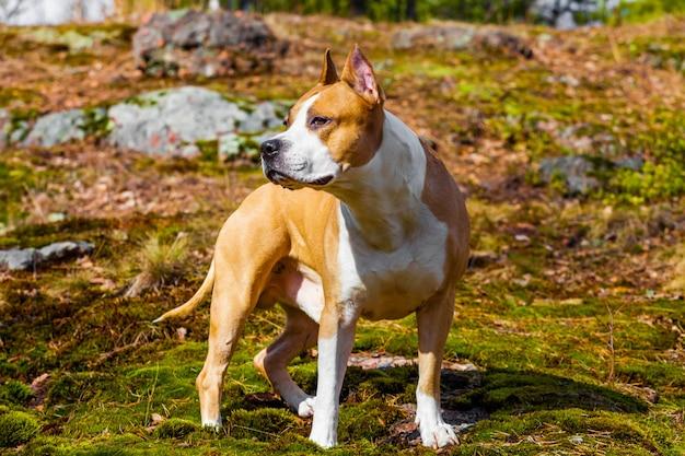 Piękny pies american staffordshire terrier w przyrodzie w lesie. przyciemnione zdjęcie