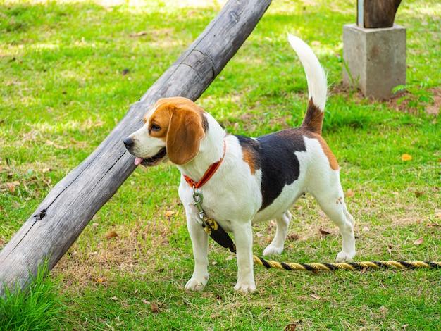 Piękny pies beagle na boisku stoi smycz na szyję.
