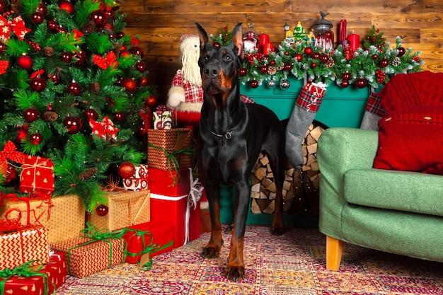 Piękny pies doberman, wakacje, nowy rok