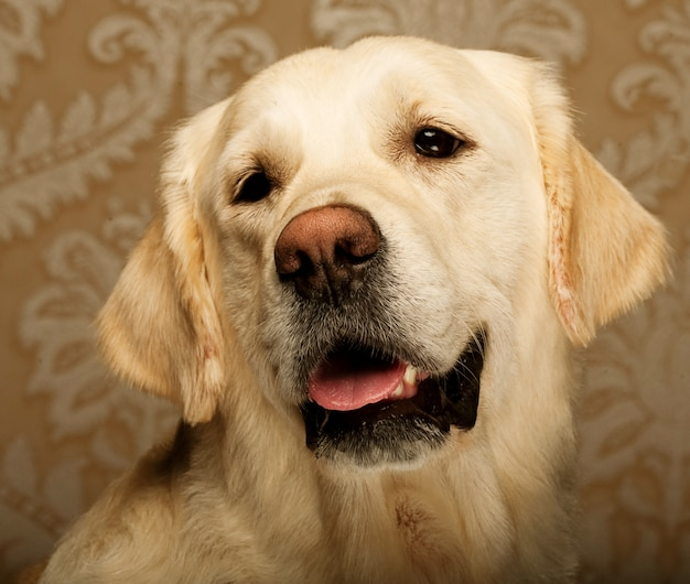 Piękny pies golden retriever sfotografowany w domu.