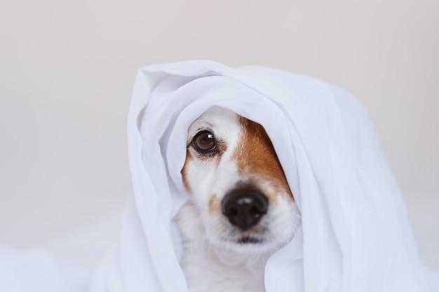 Piękny pies jack russell w domu na łóżku pokrytym białym prześcieradłem. koncepcja domu, domu i stylu życia