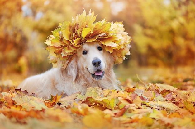 Piękny pies jest ubranym klonowego drzewa opuszcza wianek