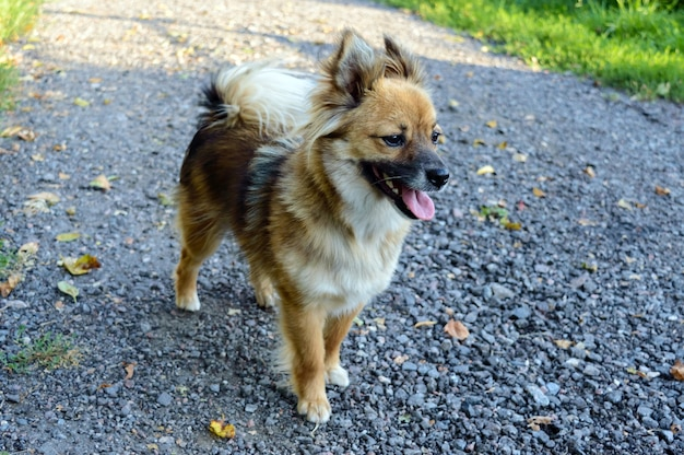 Piękny pies o żółto - brązowej kolorystyce z wysuniętym językiem jest na ścieżce z tłucznia i uważnie patrzy przed siebie.