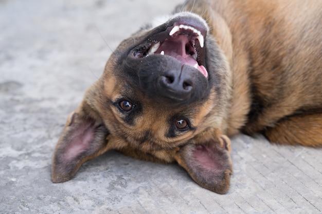 Piękny pies owczarek niemiecki gra na zewnątrz
