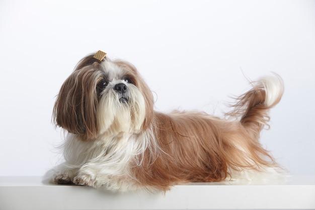 Piękny pies rasowy shih tzu