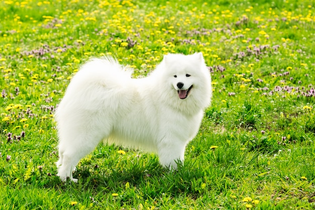 Piękny pies samoyed w kolorze białym