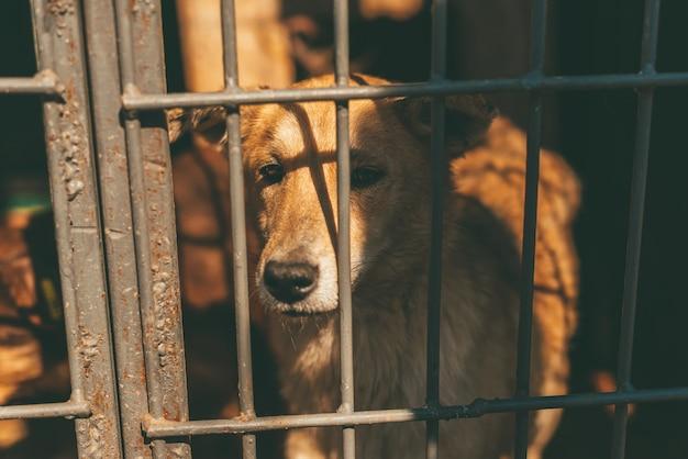Piękny pies stoi za kratkami, ma smutne spojrzenie.