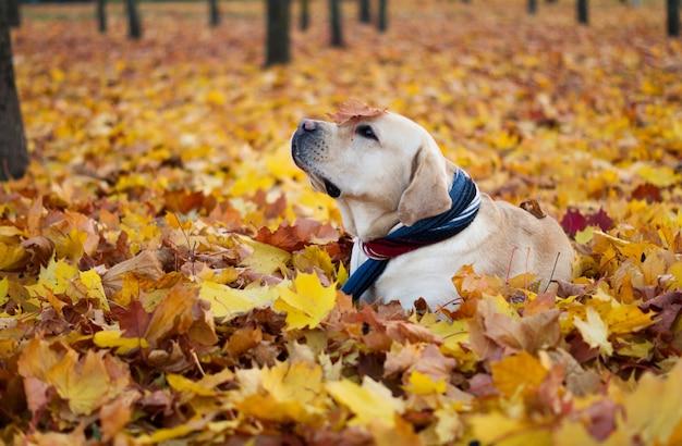 Piękny pies w jesiennych liściach