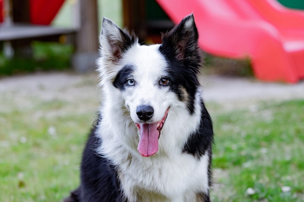 Piękny pies z różnymi kolorami oczu w parku