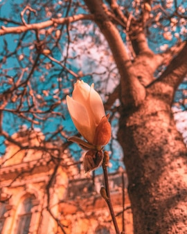 Piękny pionowy strzał brzoskwiniowy kwiat