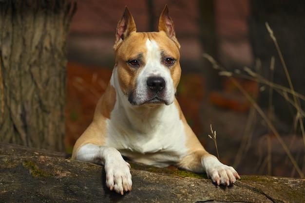 Piękny pit bull terrier w przyrodzie latem. zdjęcie wysokiej jakości